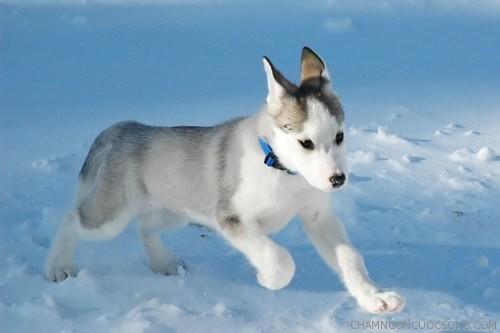 cho soi Eskimo - Cạm bẫy hấp dẫn