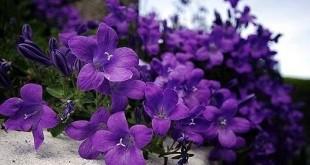 hoa violet 310x165 - Đóa hoa khát vọng