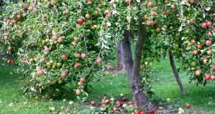 truyen cay tao 310x165 - Chuyện cây táo